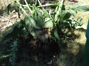 Comfrey Bocking 4 before splitting and cutting off root cuttings