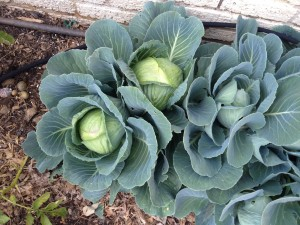 Cabbage Planted last year