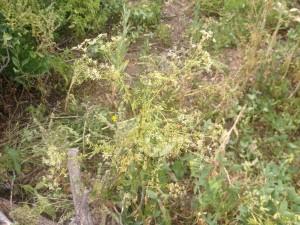 17 Ladybugs in bush