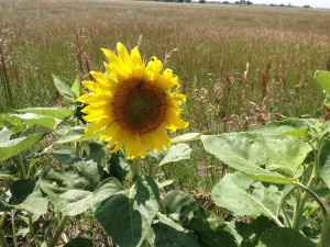Sunflower on a food forest swale
