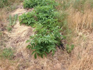 Sheet Mulched Potato Patch with Flowers