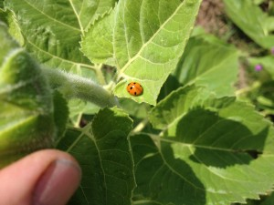 2014 year of the lady bug in Colorado