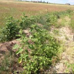 food forest swale on the eastern plains of Colorado