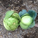 Split cabbage vs not split cabbage