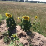 Two large sunflowers on the 2014 swale
