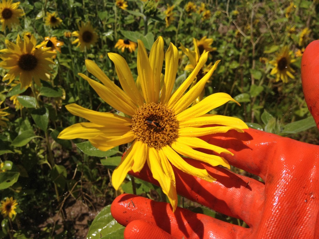 Wild flower on the food forest swale on the high plains of Colorado
