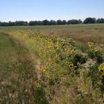 Sunflowers in full bloom on the 2014 swale