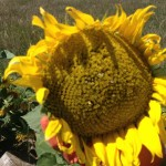 Large mature sunflower on the high plains east of Denver Colorado