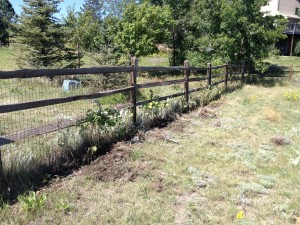 Raspberries transplanted to fence line