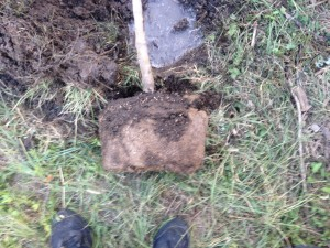 Apple tree root ball