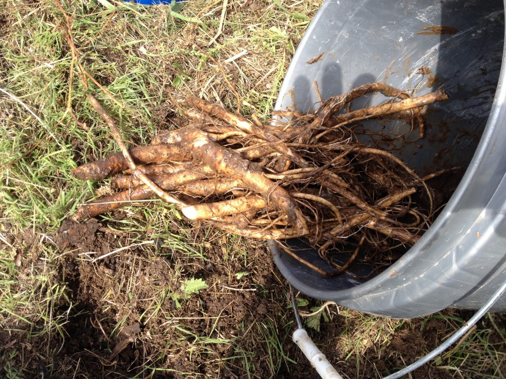 Comfrey roots cut from crown
