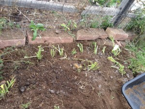 Planted Comfrey Bocking 4 Crowns