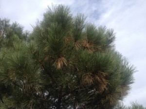 Pine tree with brown dead needles