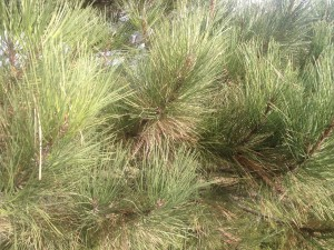 Pine tree with brown dead needles close up