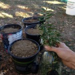Sea berry sea buckthorn cuttings
