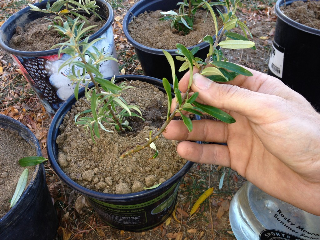 Sea buckthorn cutting for propagation