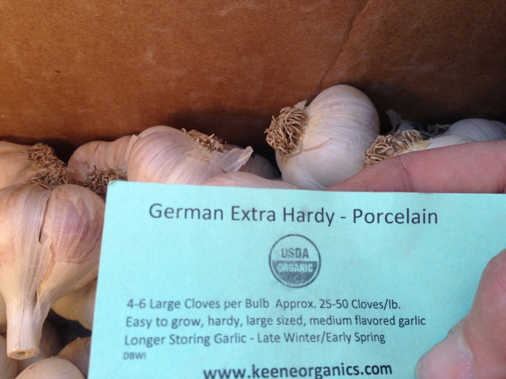 German Extra Hardy Porcelain Organic Hard neck garlic being planted at RegenFarms