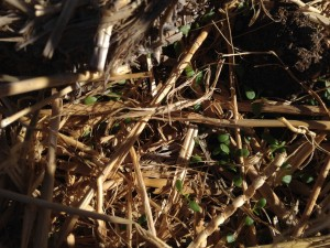 Clover sprouting for food forest swale cover
