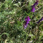 Common vetch on food forest swale