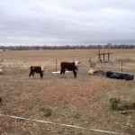 Mini Herefords on eastern plains of Colorado