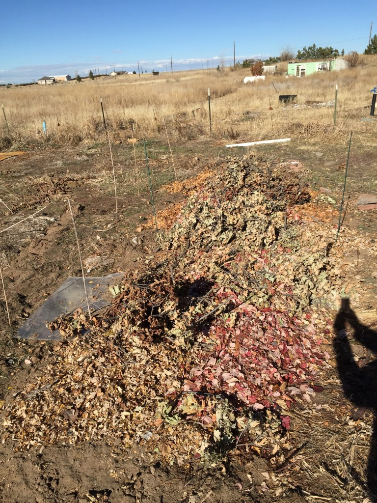 Adding leaves to the asparagus patch
