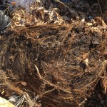 Grass roots formed in trash bag of leaves
