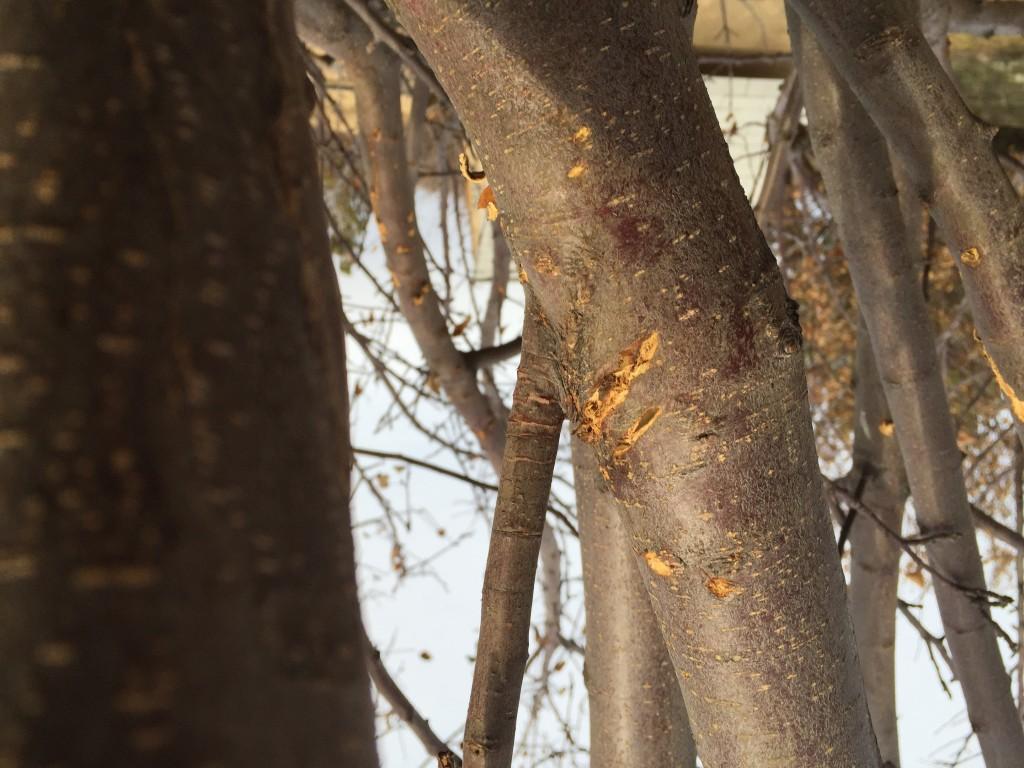 A bear scratch on the apple tree