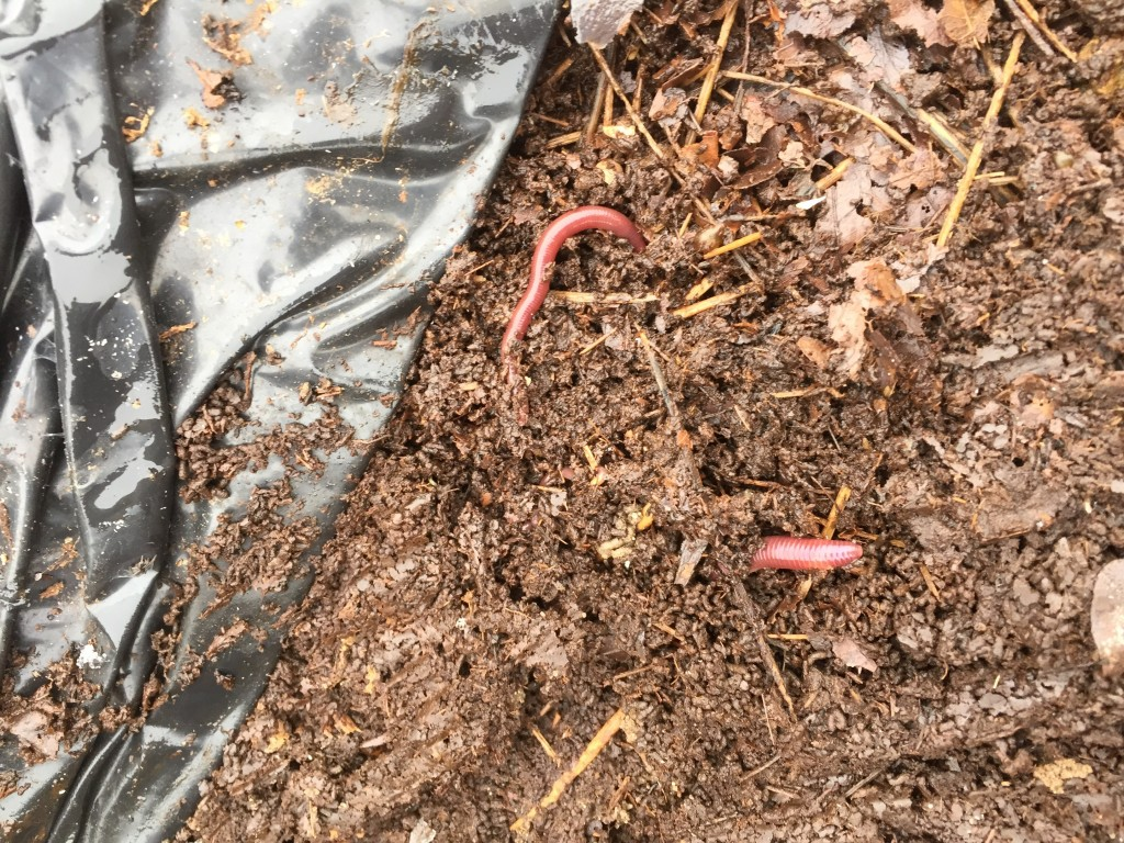 A couple of worms in and under bags of 1year old leave
