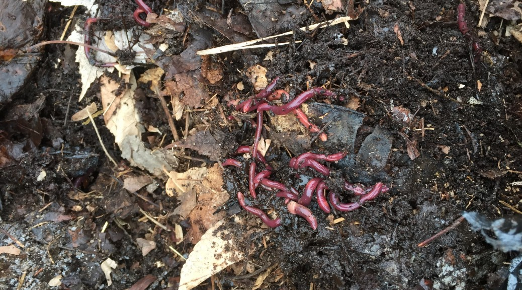 Lots of worms in one of the piles of leaves at RegenFarms