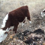 Colorado mob grazers checking out the composting leaves