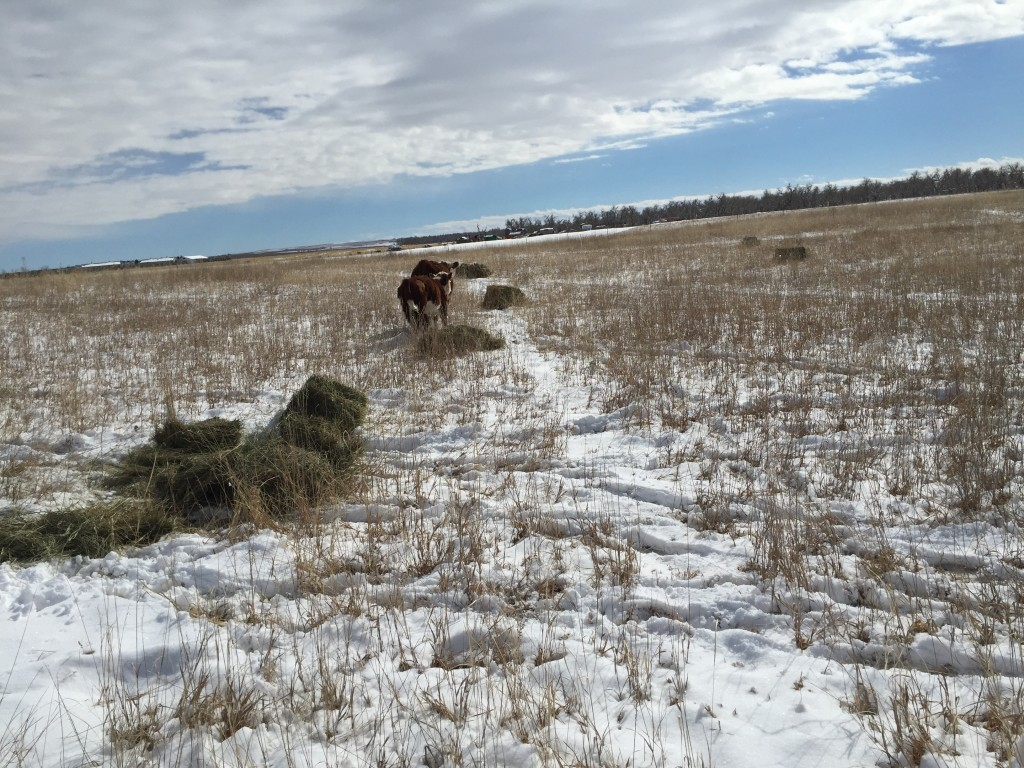 Giving the mini Herefords hay out in the pasture where we want to add ground litter