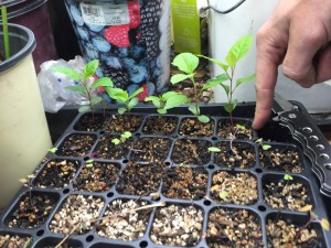 Apple trees grown from seeds
