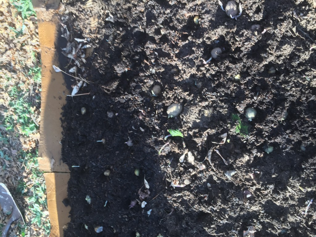 2015 sheet mulched potato beds