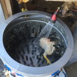 2015 chicken processing, the easy way to remove feathers