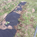 2015 Rhubarb planting On the high plains of Colorado