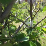 2015 grafting of apples from gopher damaged trees