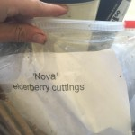 Nova elderberry cuttings we are trying to root 2015