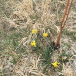 daffodil flowers showing up spring 2015 to keep pocket gophers away