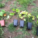 2015 cold hardy kiwi plants, 1 male and 4 female plants.