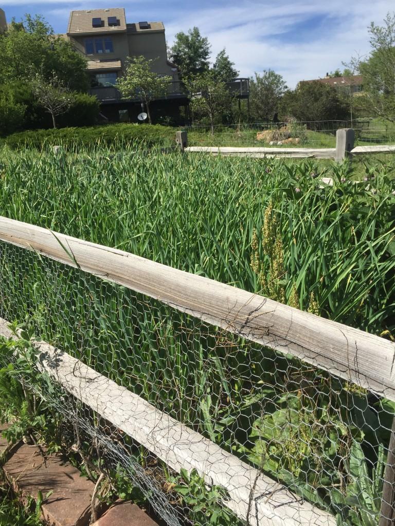 2015 hard neck garlic growing at the homestead.