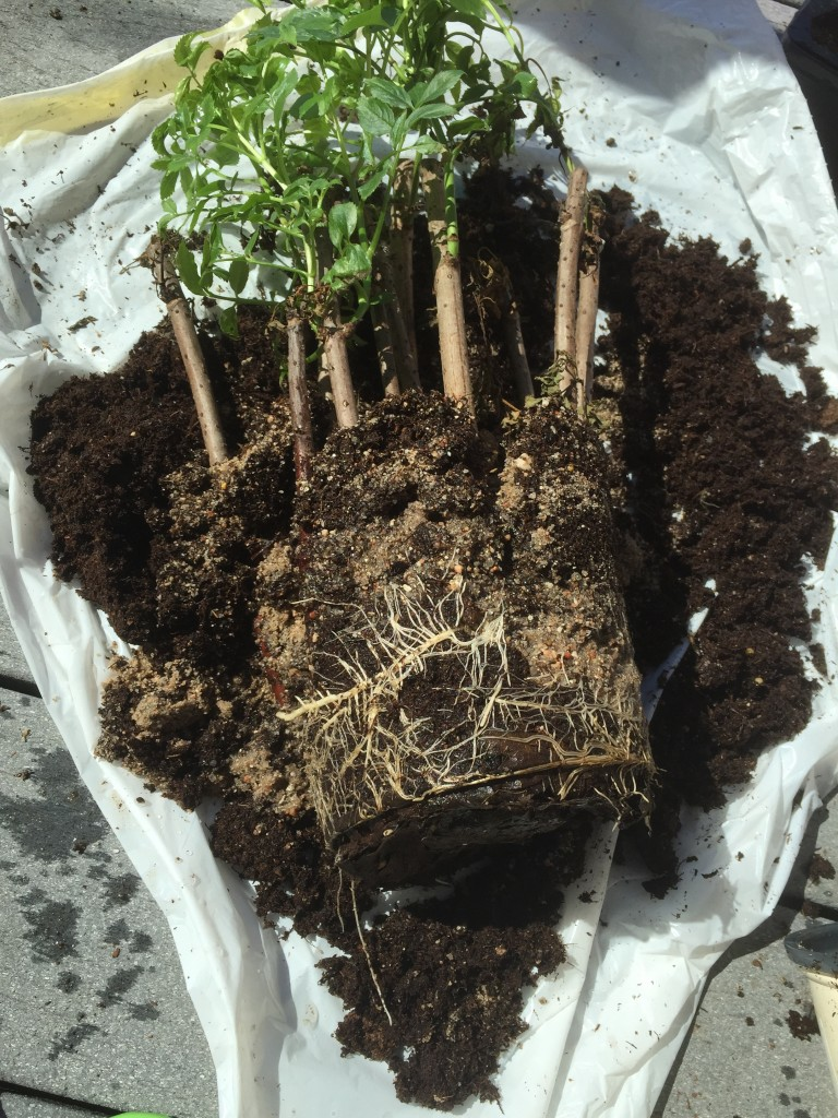Good root growth on the 2015 planted cuttings of elderberry.