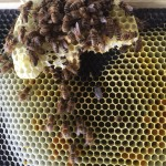 2015 bees which look alive but are not.